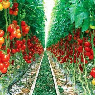 طرح توجیهی تولید محصولات خارج از فصل در گلخانه(صیفی جات گلخانه ای)